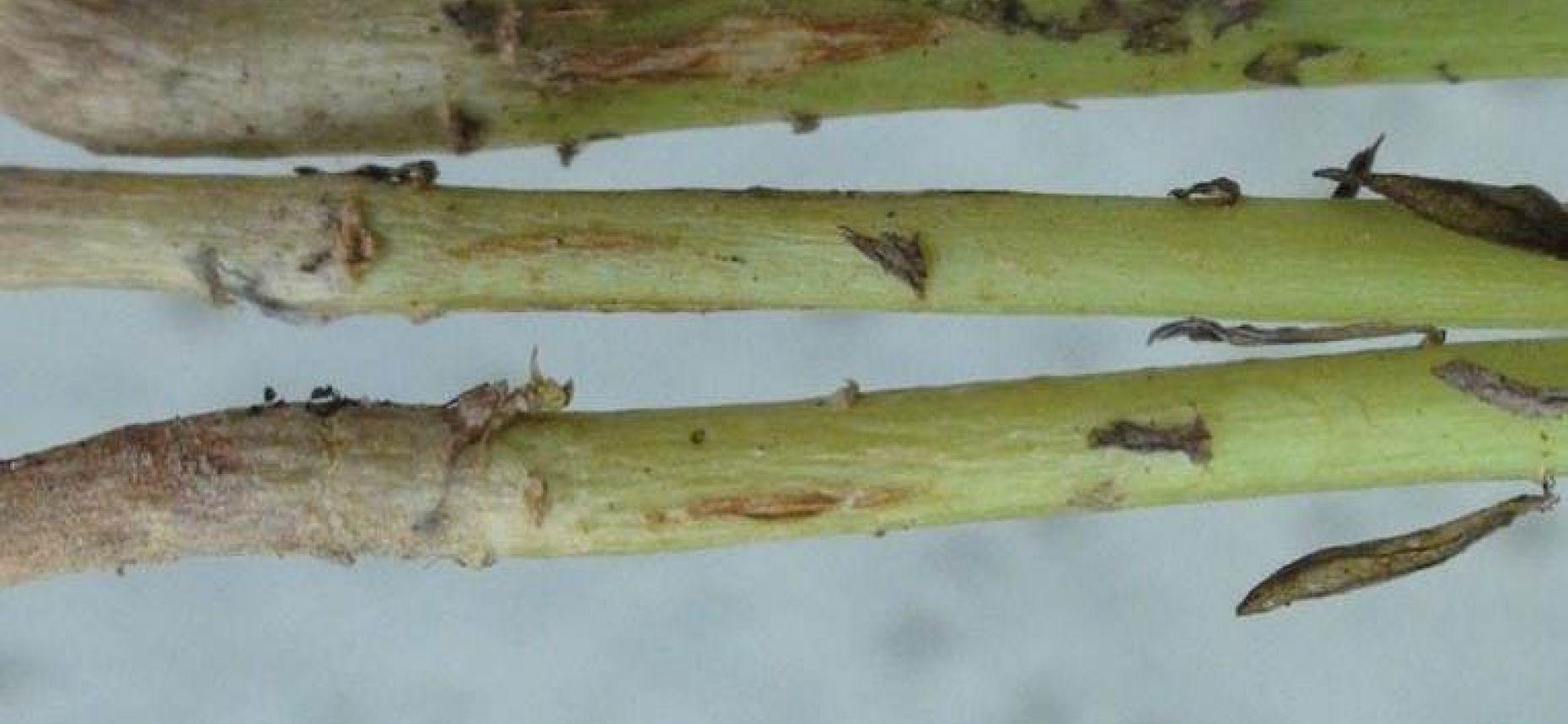 Ломкость стеблей льна - Aureobasidium pullulans (d By) Arn. f. sp. linicke Cokke (= Kabatiella lini (Laff.) Karak, =Polyspora lini Laff)