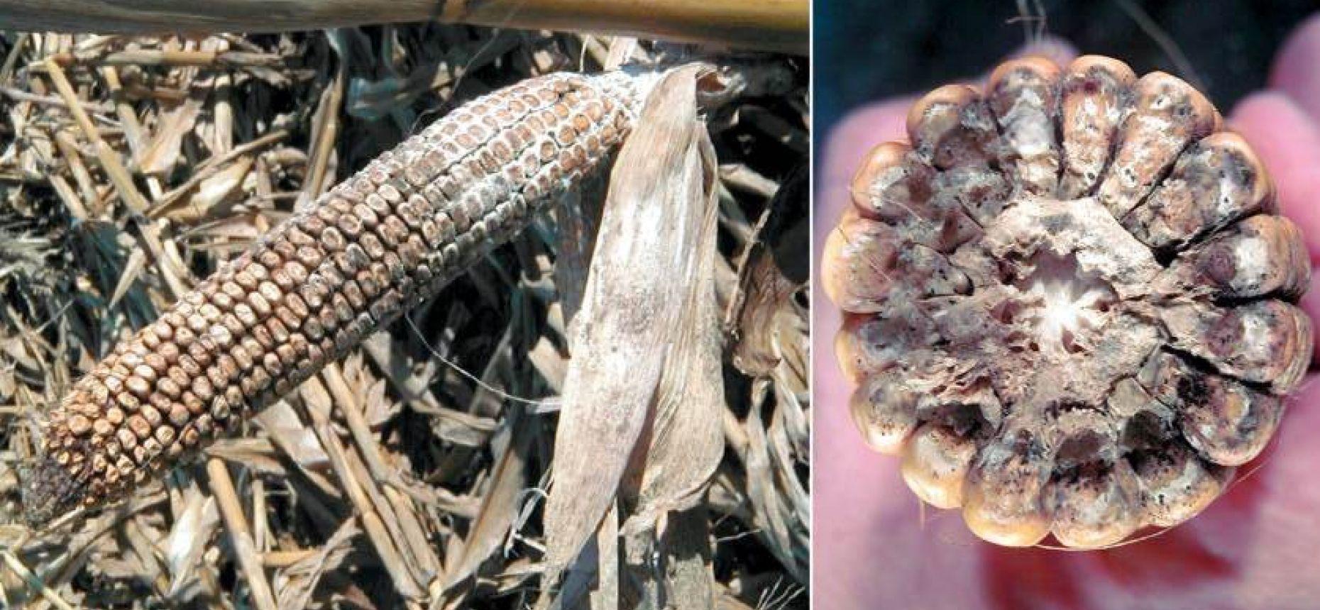 Диплодиоз кукурузы - Diplodia zeae Lev.