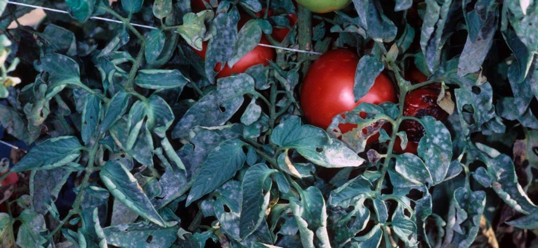 Мучнистая роса томатов - Erysiphe communis (Wallr.) f. sp.solani-lycopersici Jacz. и Leveillula taurica (Lev.) G. Arnaud