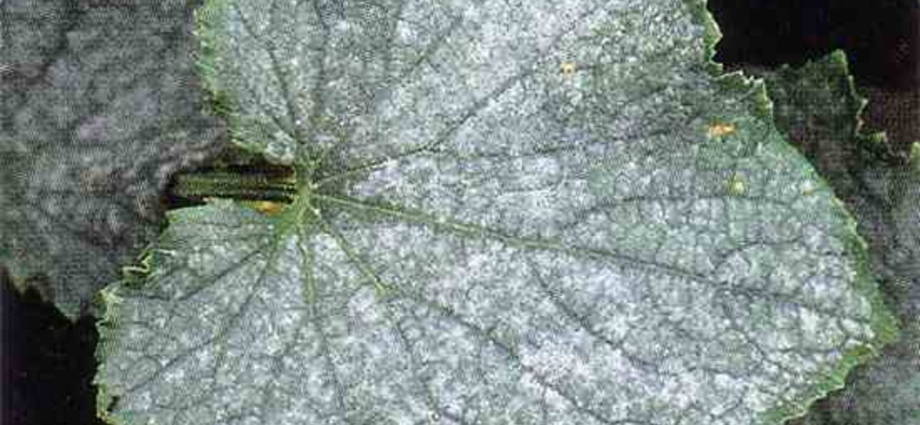 Мучнистая роса тыквенных культур - Erysiple cichoracearum DC.f. cucurbitacearum Pot., Sphaerotheca fuliginea Poll. f. cucurbitae Jacz.