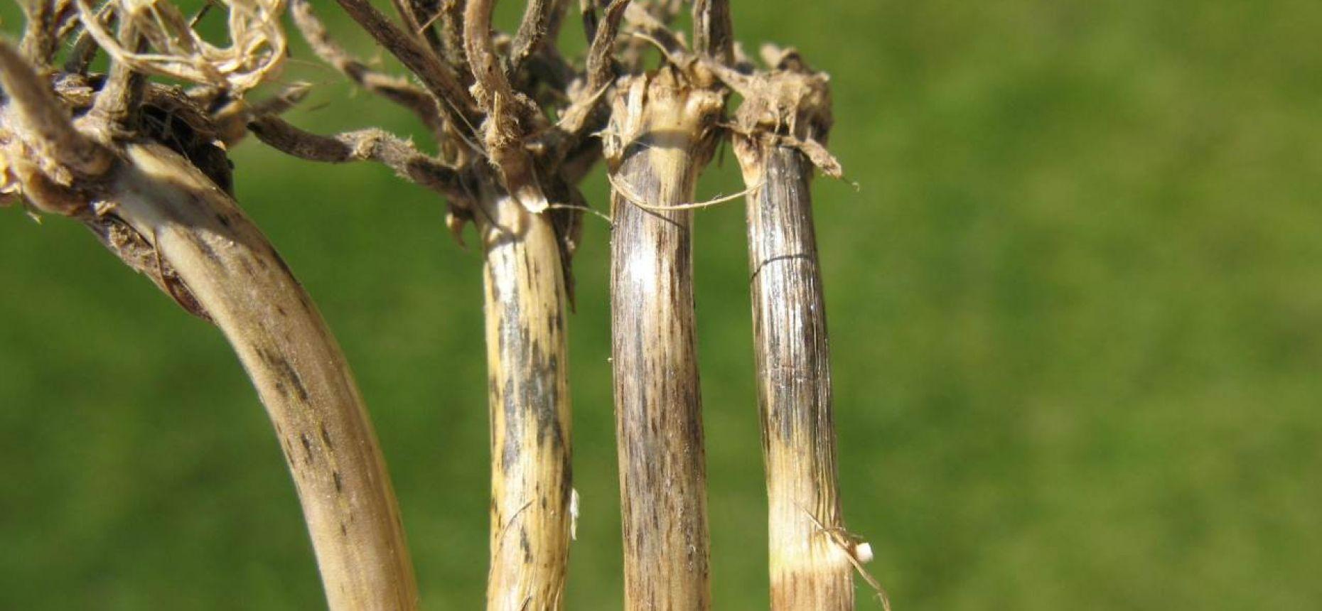 Офиоболезная корневая гниль - Gaeumannomyces graminis (Sacc.) Arx & D.L. Olivier.(= Ophiobolus graminis Sacc.)