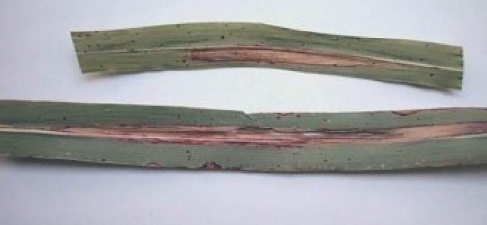 Гельминтоспориозная пятнистость листьев кукурузы (северный гельминтоспориоз) - Helminthosporium  turcicum Pass. (=Drechlera turcica )