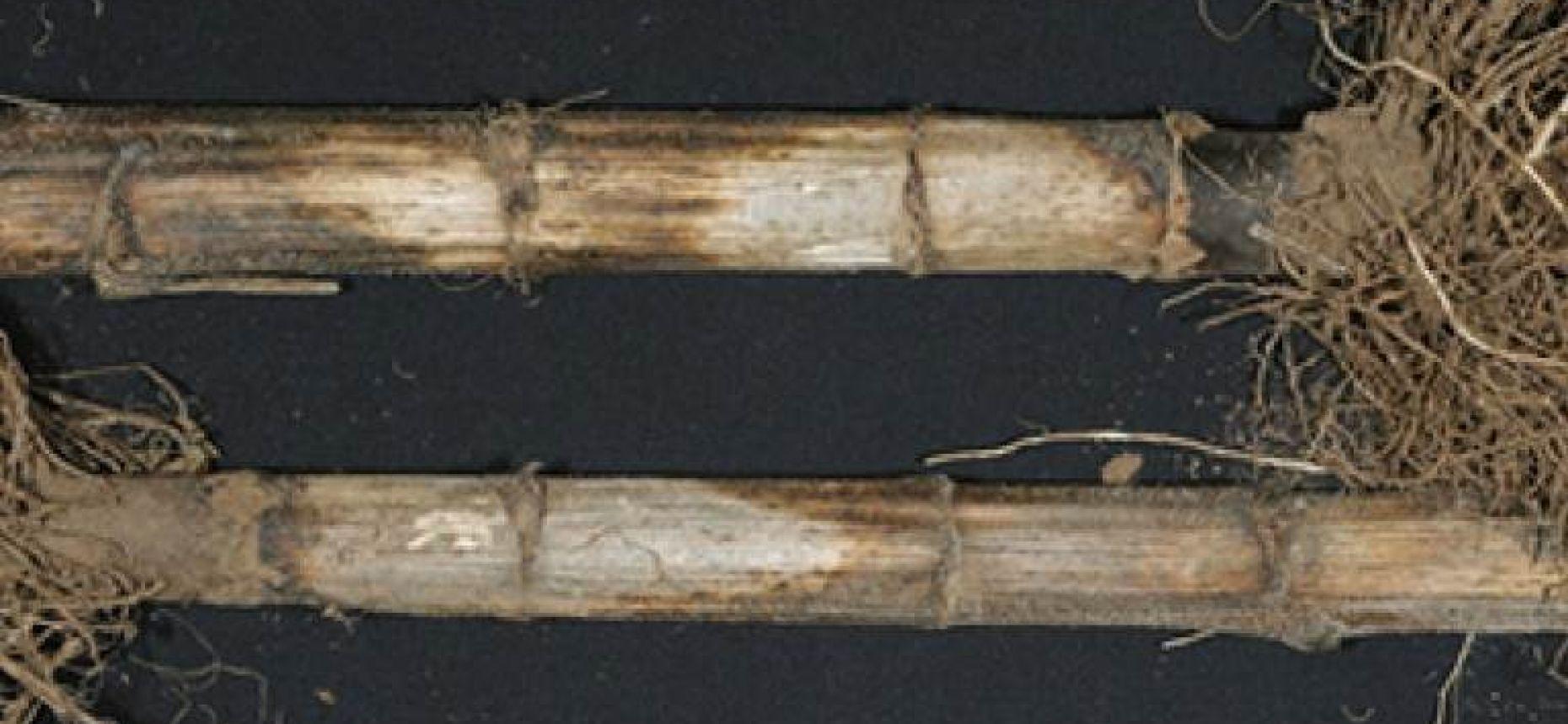 Пепельная гниль подсолнечника - Macrophomina phaseolina (Tassi) Goid.(=Sclerotium bataticolaTaubenh.)