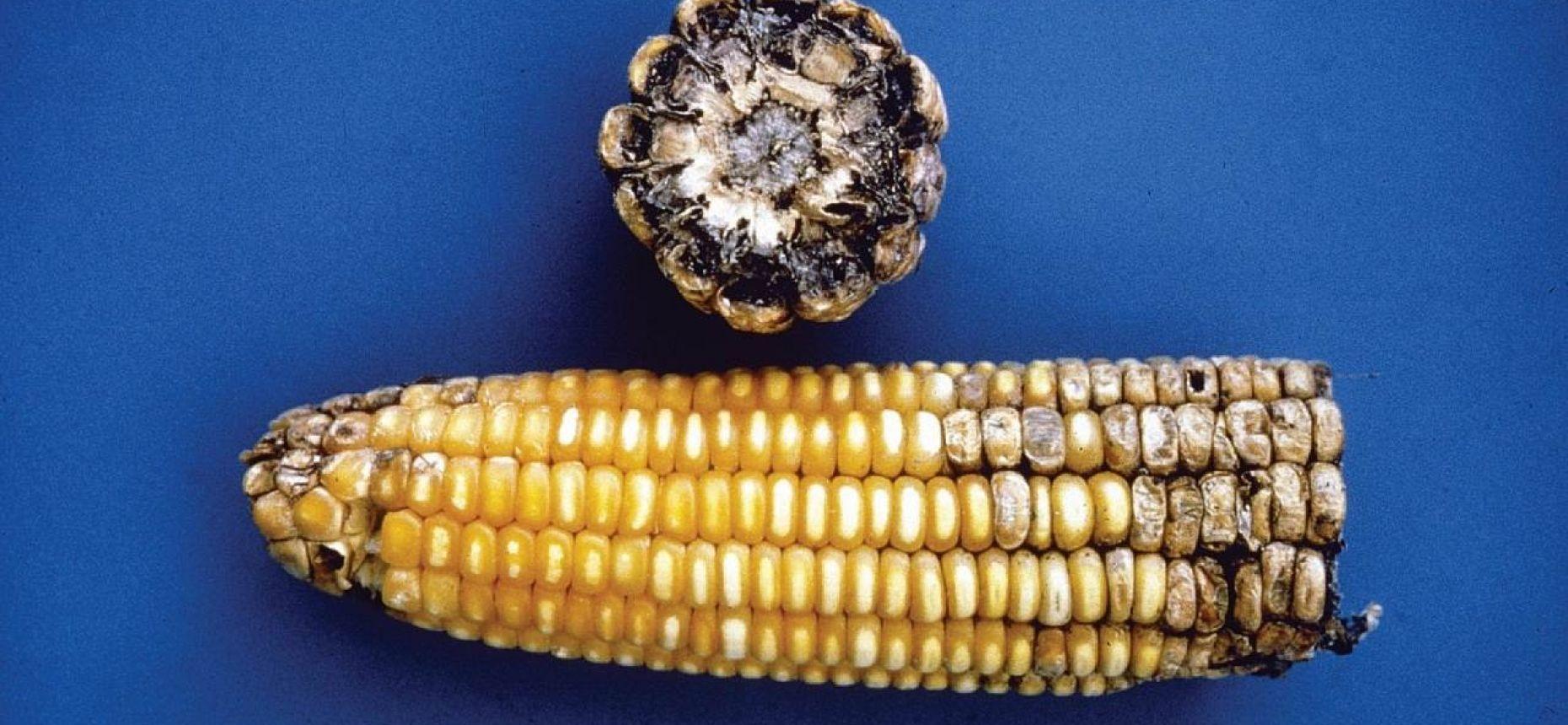 Нигроспороз кукурузы - Nigrospora oryzae (Berk. & Broome) Petch.