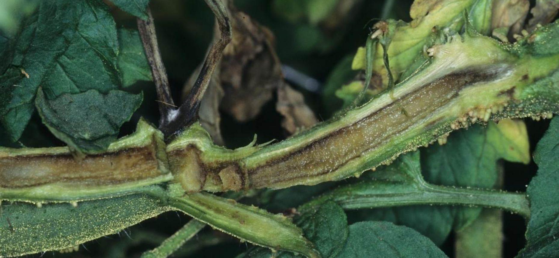 Сердцевинный некроз стеблей томата - Pseudomonas corrugata Roberts and Scarlett 1981
