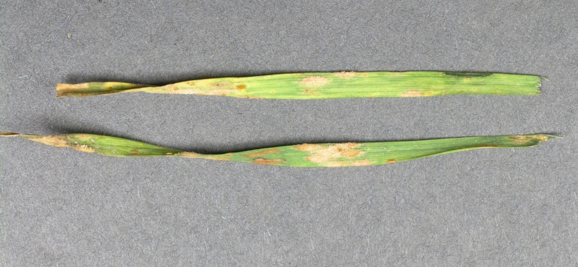 Бурая листовая ржавчина ржи - Puccinia dispersa Erikss. et Henning (=Puccinia recondita Rob.ex Desm. f. sp. secalis)