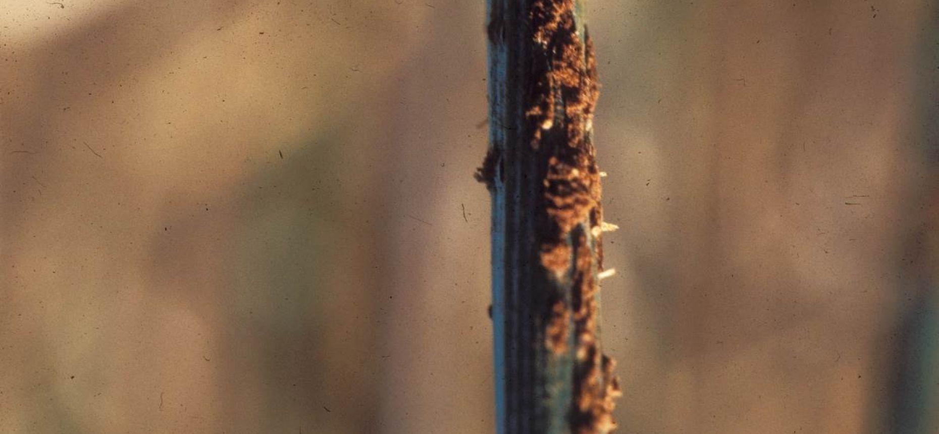 Стеблевая (линейная) ржавчина злаковых культур - Puccinia graminis