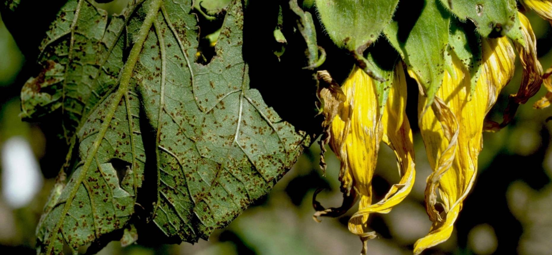 Ржавчина подсолнечника - Puccinia helianthi Schwein