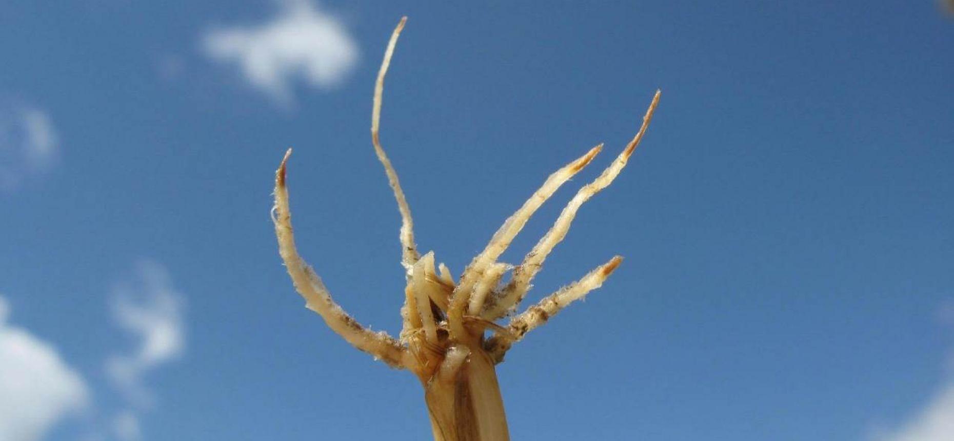 Ризоктониозная корневая гниль пшеницы - Rhizoctonia solani J.G. Kuhn (= Thanatephorus cucumeris (A.B. Frank) Donk)