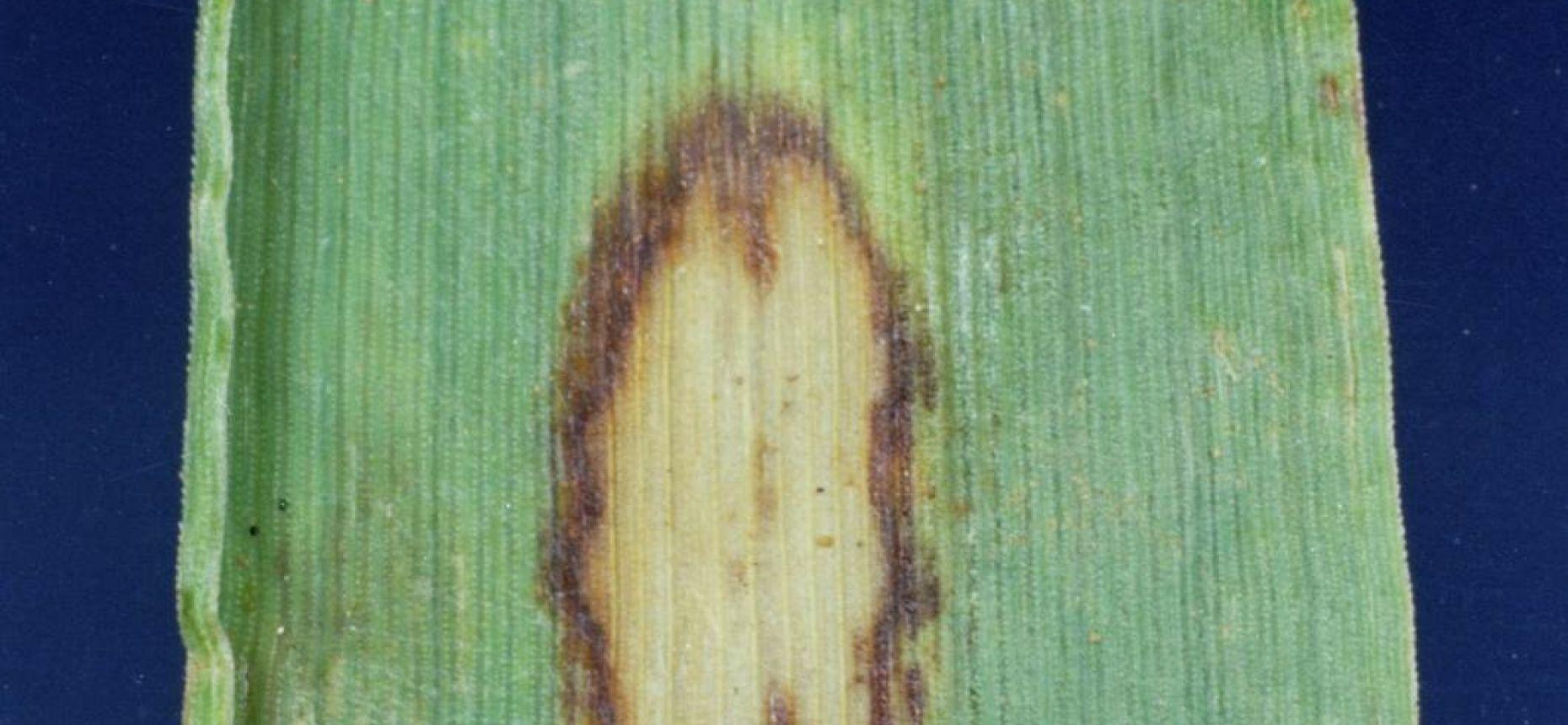 Ринхоспориоз - Rhynchosporium secalis (Oudem.) J. J. Davis (=Marssonia secalis Oudem.)