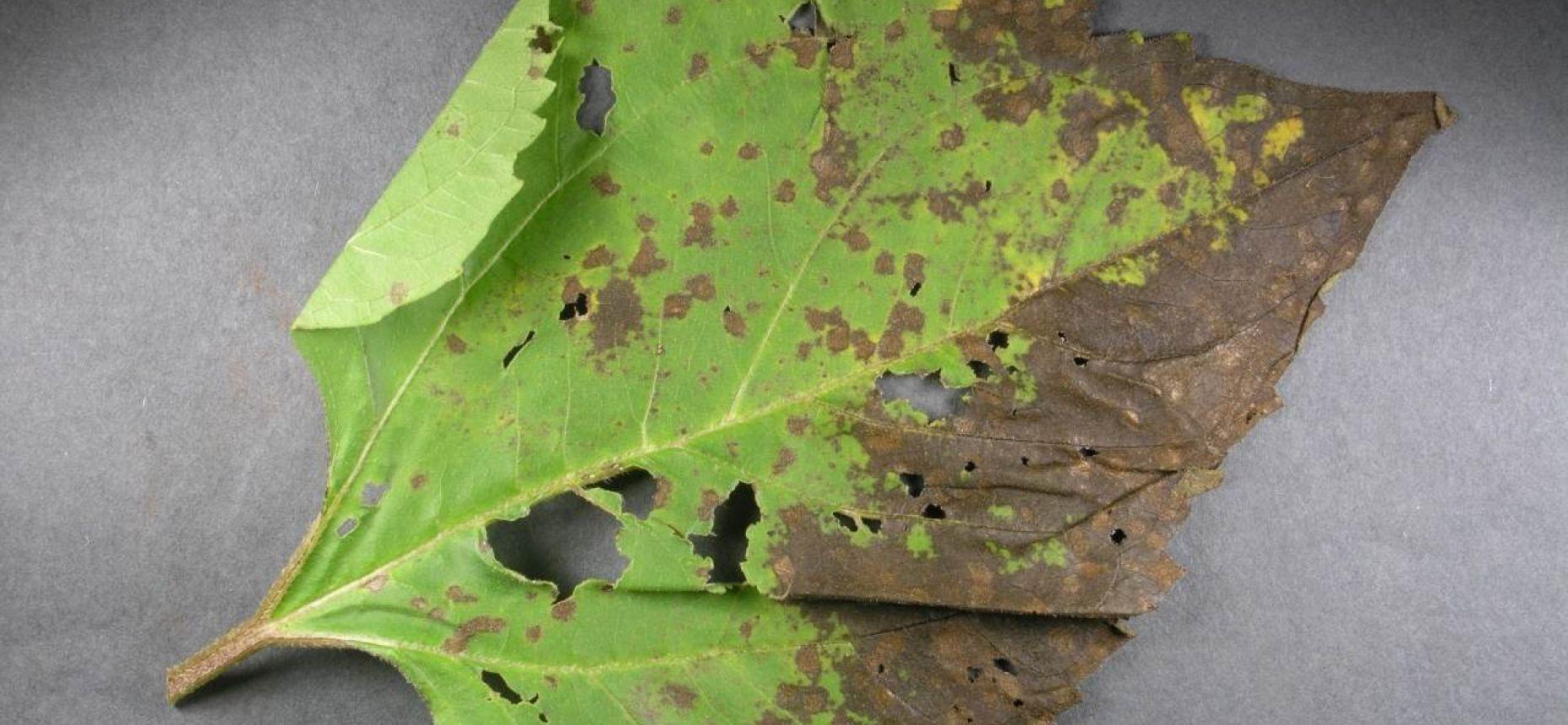 Септориозная пятнистость листьев подсолнечника - Septoria helianthi Ell.&Kell.