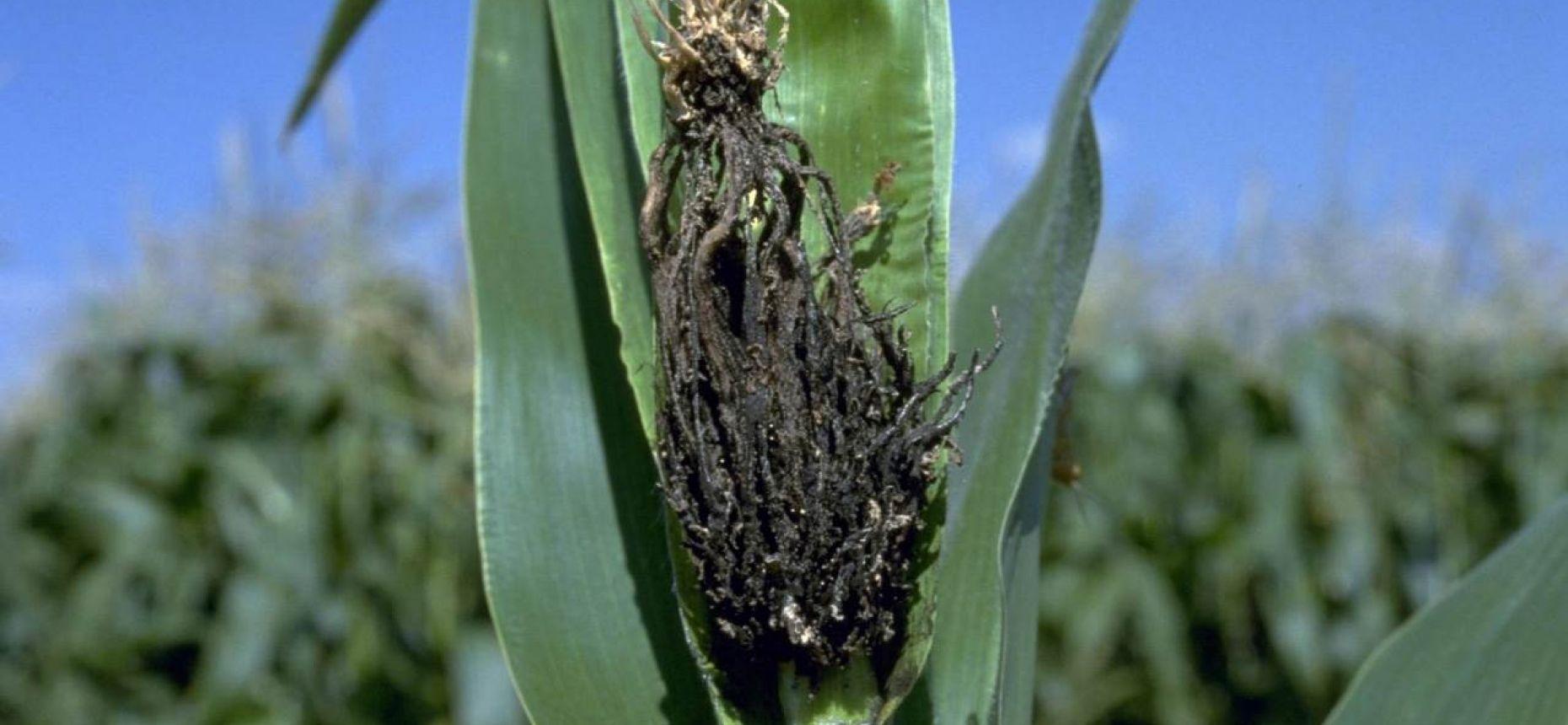 Пыльная головня кукурузы - Sorosporium reilianum (Kuehn) Mc Alp.