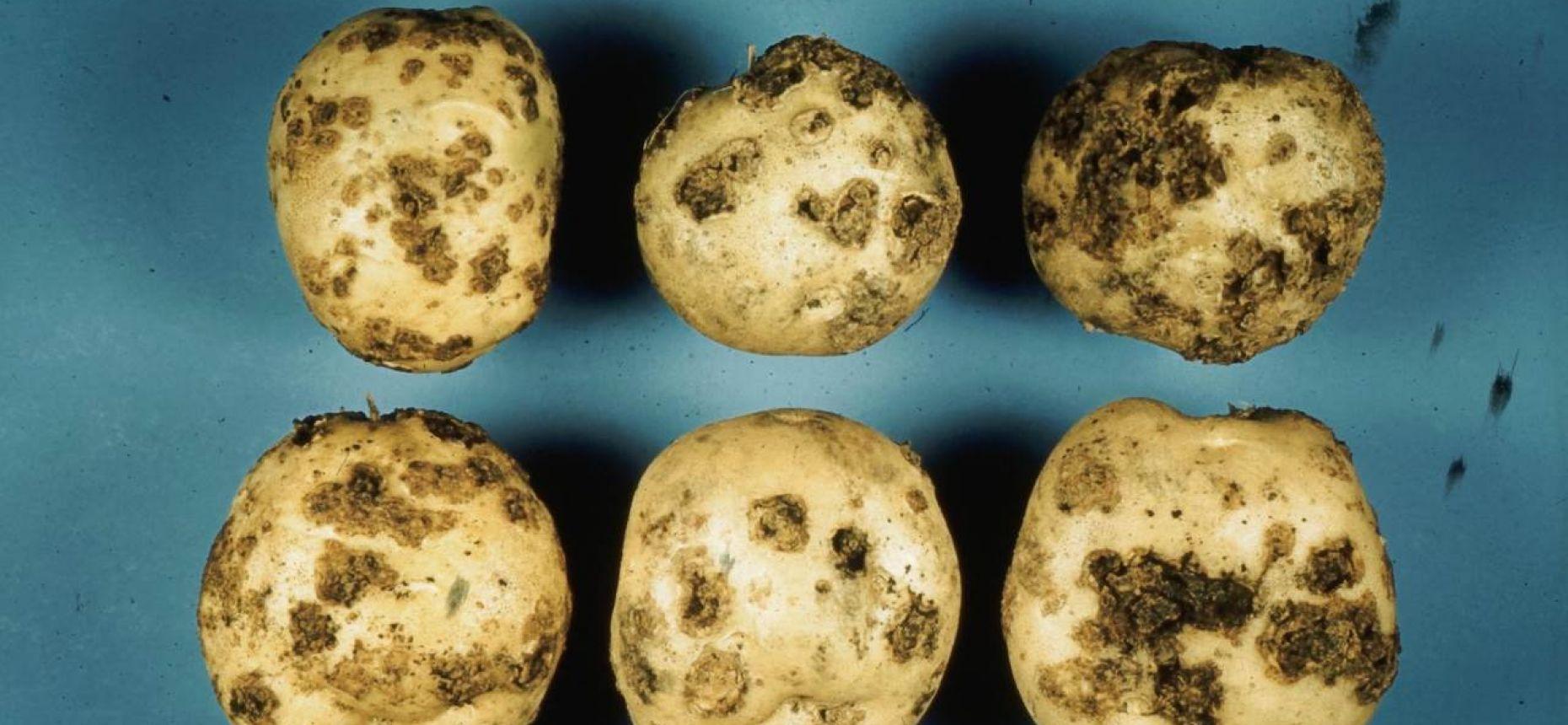 Парша обыкновенная картофеля - Streptomyces scabies (Thaxter)  Waksman et Henrici.