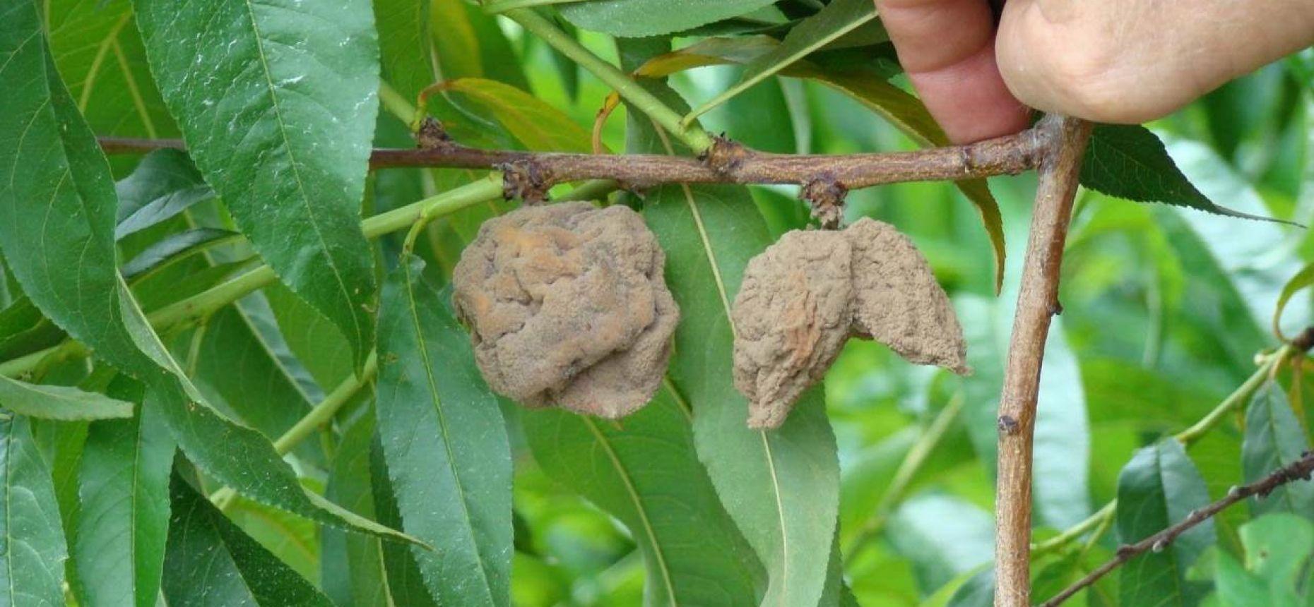 Курчавость листьев персика - Taphrina deformans (Berk.) Tul.(=Exoascus deformans (Fuck)
