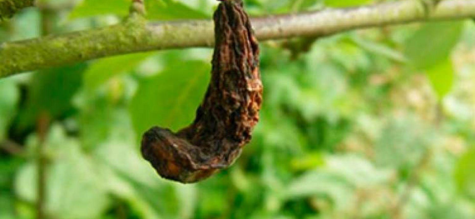Кармашки слив - Taphrina pruni (Fuck) Tul.(=Exoascus pruni Sad.)