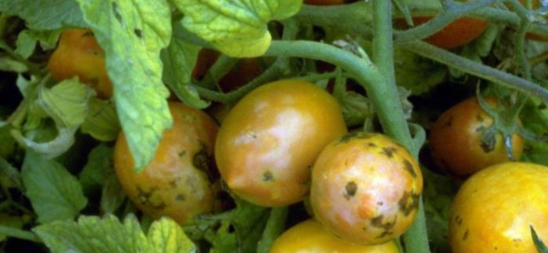 Вирус пятнистого увядания томата - Tomato spotted wilt virus (= Lycopersicum virus 3 Smith)