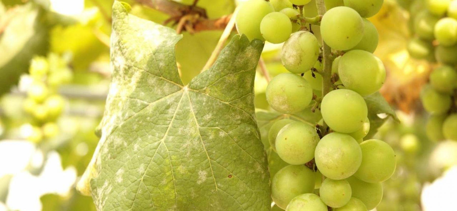 Мучнистая роса винограда - Uncinula necator (Schw.) Burrill (анаморфа – Oidium tuckeri Berk.)