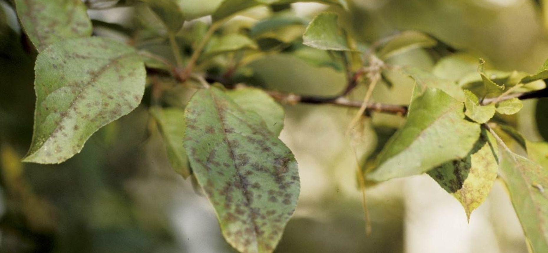 Парша яблони - Venturia inaegualis (анаморфа - Fusicladium dendriticum)