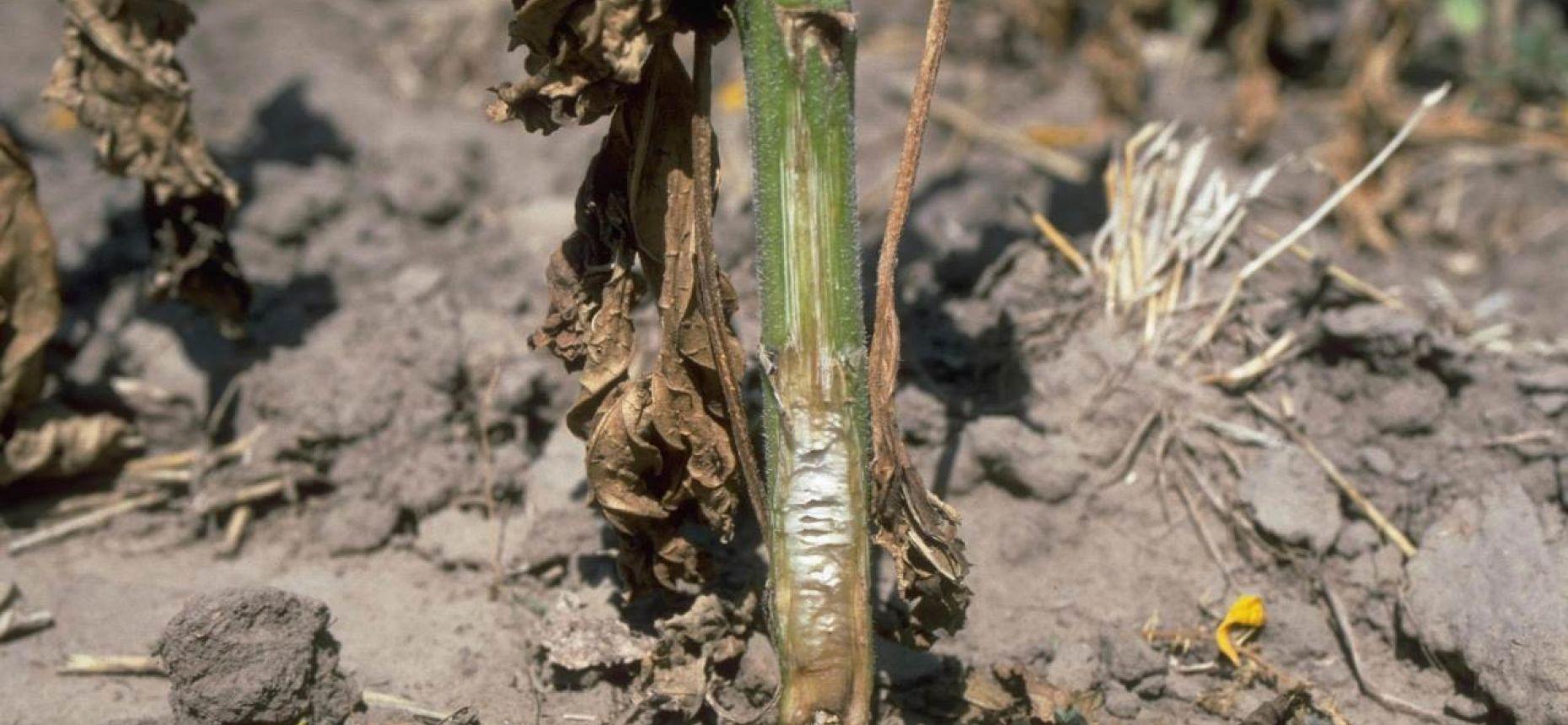 Вертициллезное увядание подсолнечника - Verticillium dahlia Kleb.(=Verticillium albo-atrum var. medium Wollenw)
