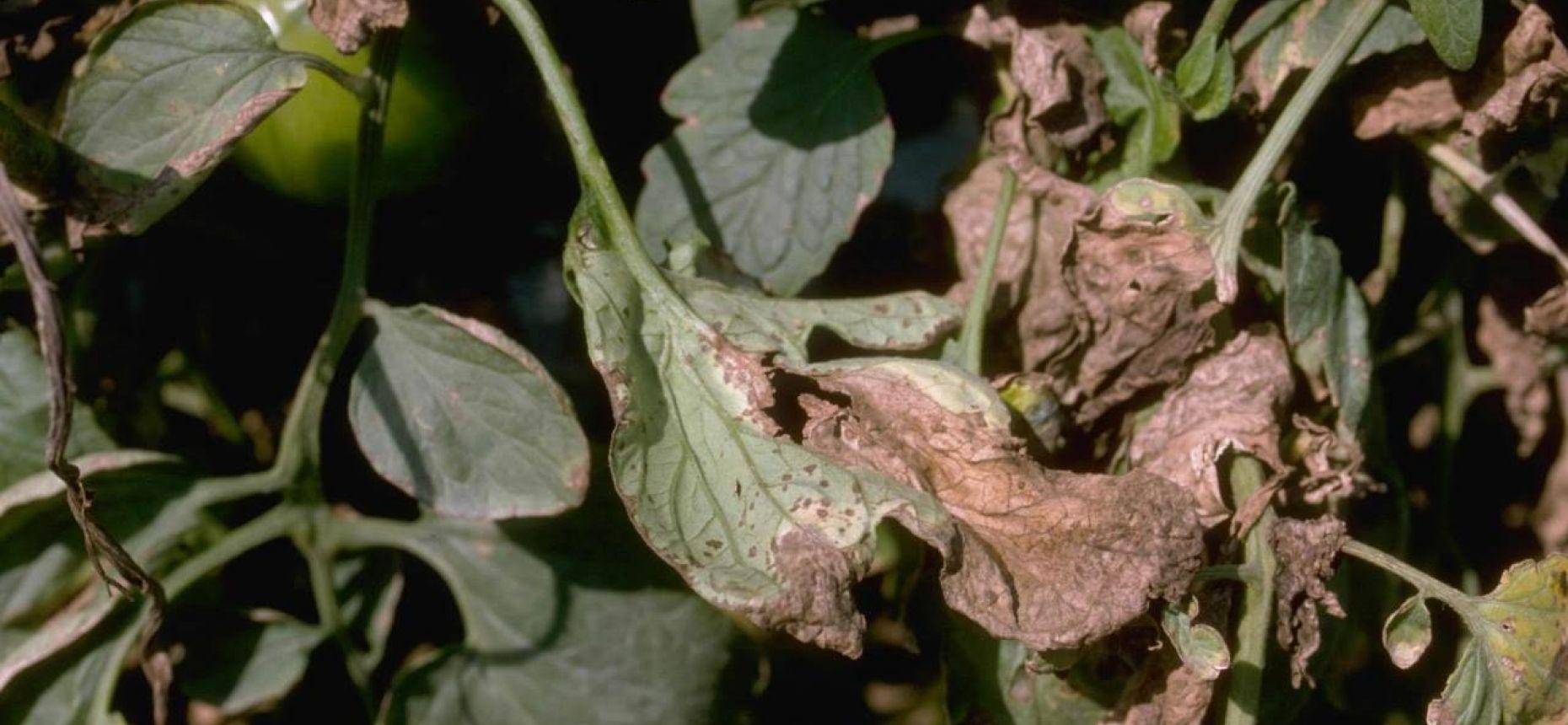 Черная бактериальная пятнистость томата - Xanthomonas campestris pv. vesicatoria (Doide) Dy (=Xanthomonas vesicatoria Xv.)