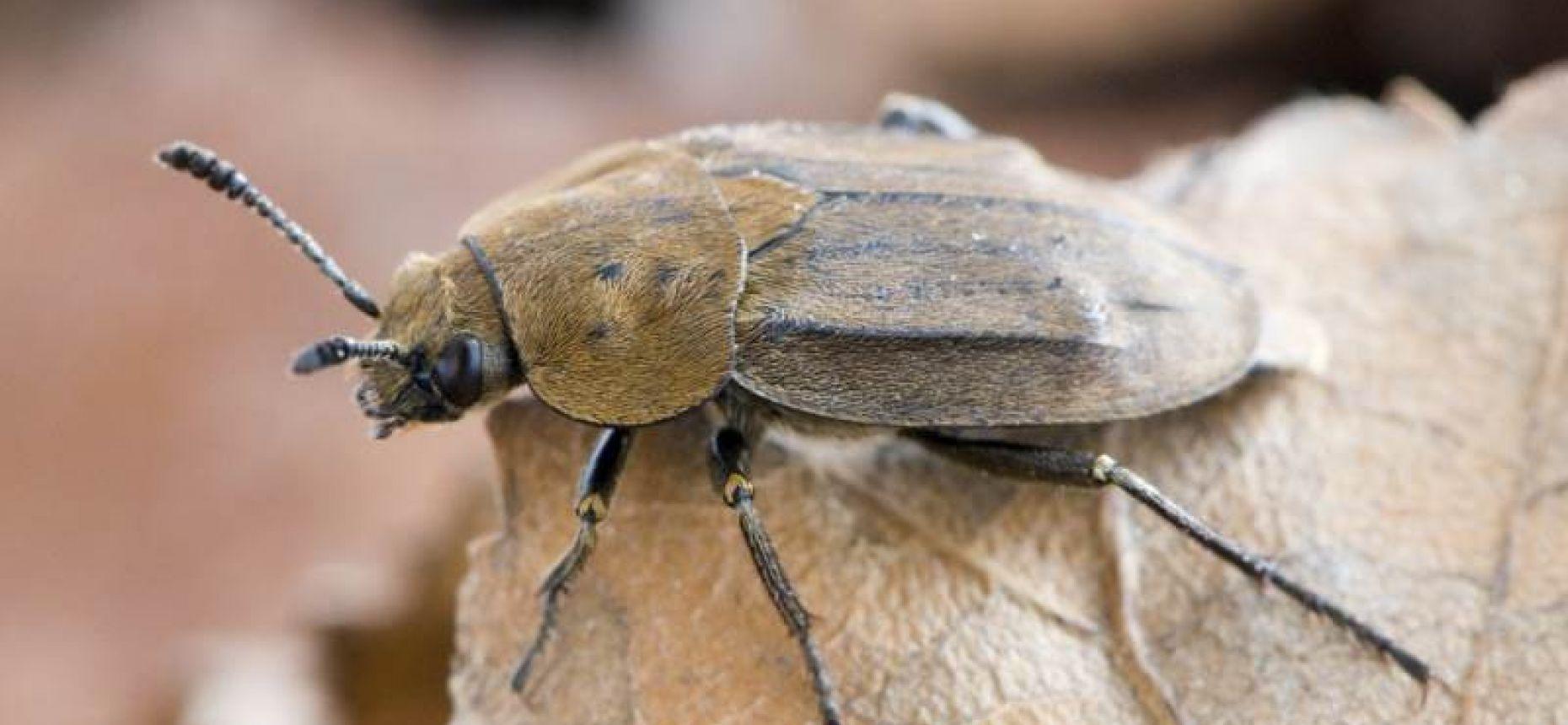 Матовый мертвоед - Aclypea opaca L.