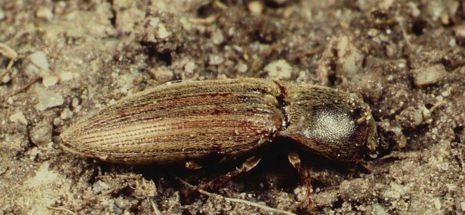 Щелкун степной - Agriotes gurgistanus Faldermann