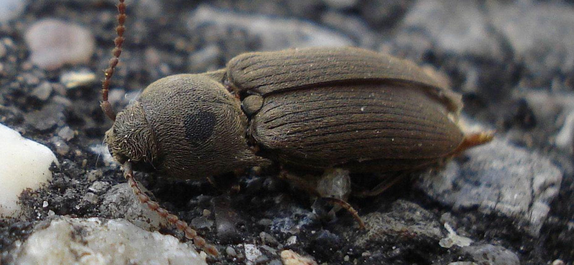 Посевной малый щелкун - Agriotes sputator L.