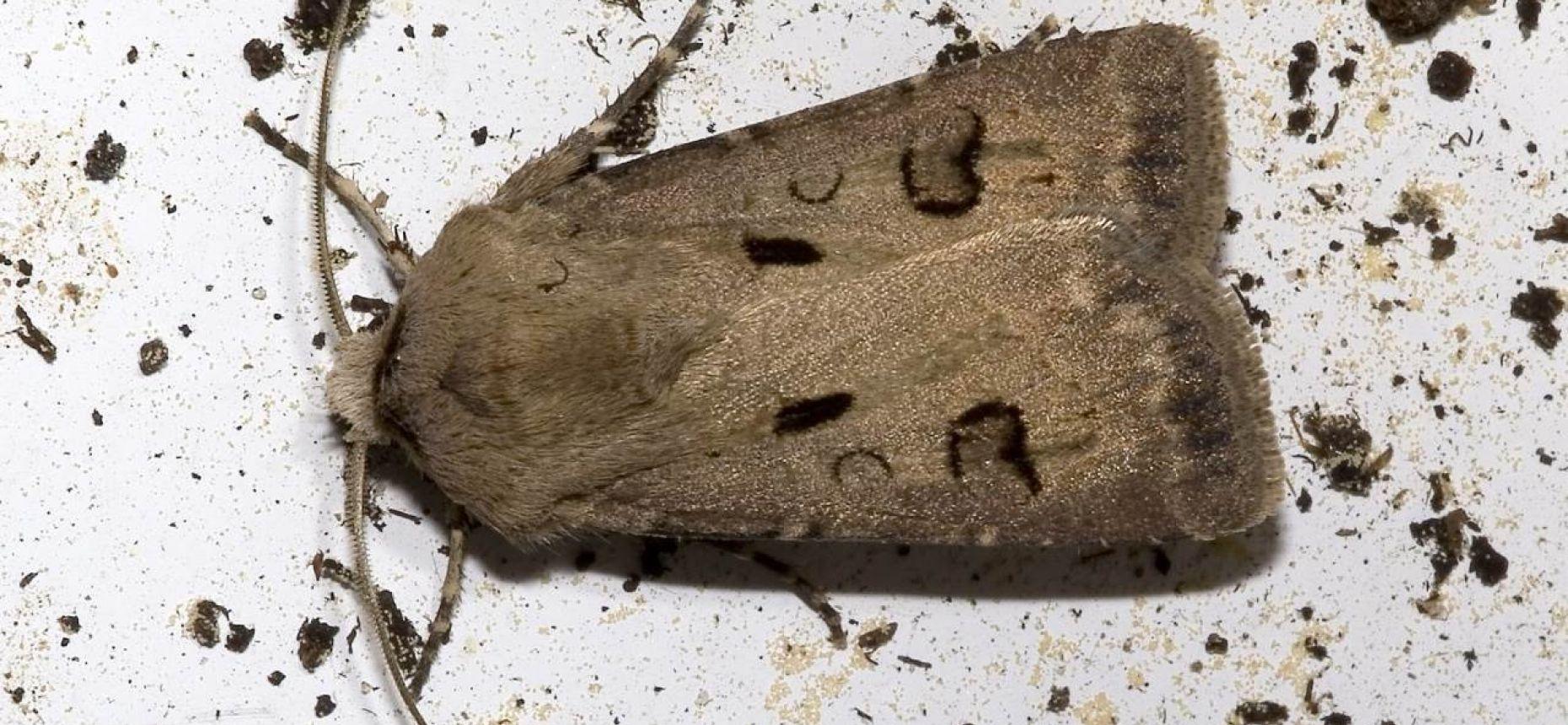 Восклицательная совка - Agrotis exclamationis L.