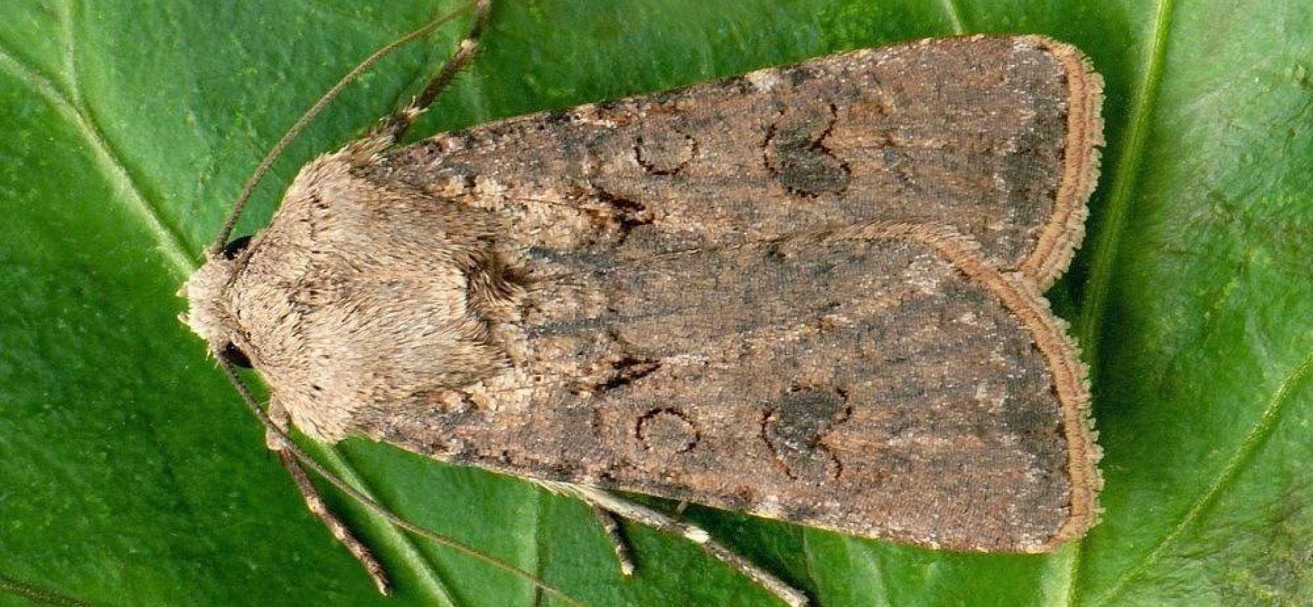 Озимая совка - Agrotis segetum (Den. et Schiff.)
