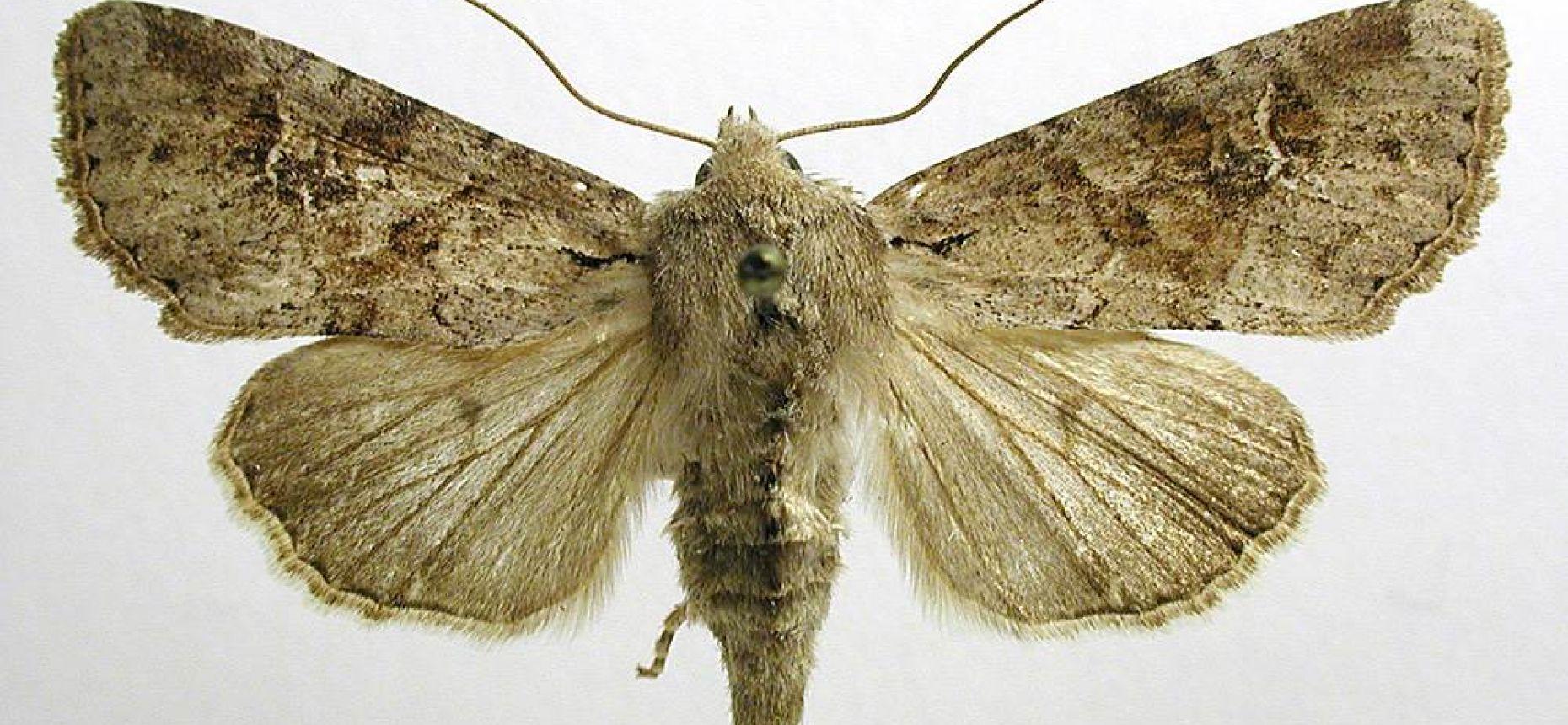 Обыкновенная зерновая совка - Apamea sordens Hufn.