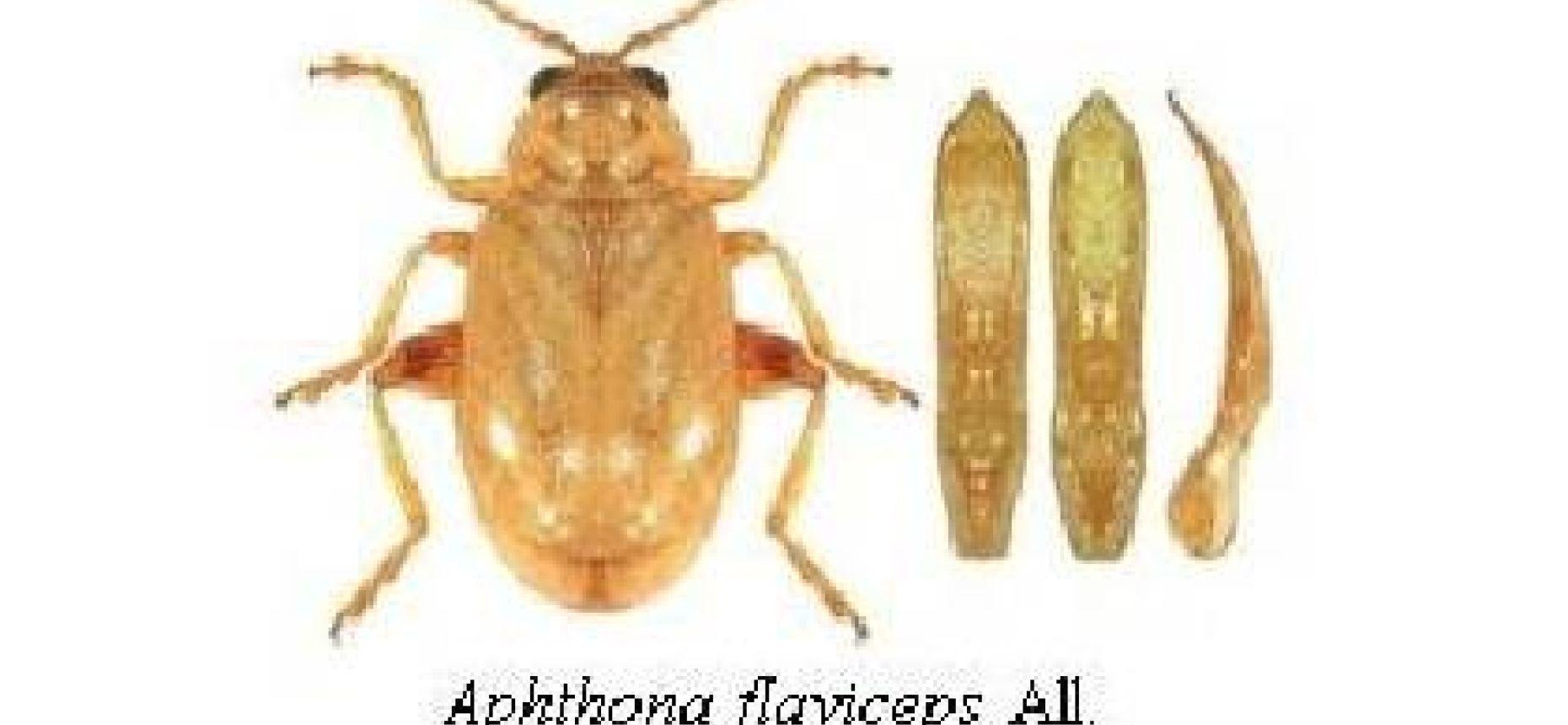 Льняные блошки (синяя льняная блоха, коричневая льняная блоха, черная льняная блоха) - Aphthona euphorbiae Schrank, Aphthona flaviceps All., Longitarsus parvulus Payk.