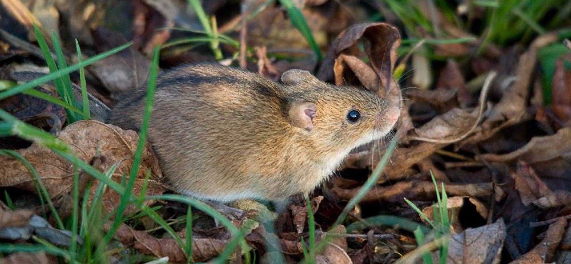 Полевая мышь - Apodemus agrarius Pallas