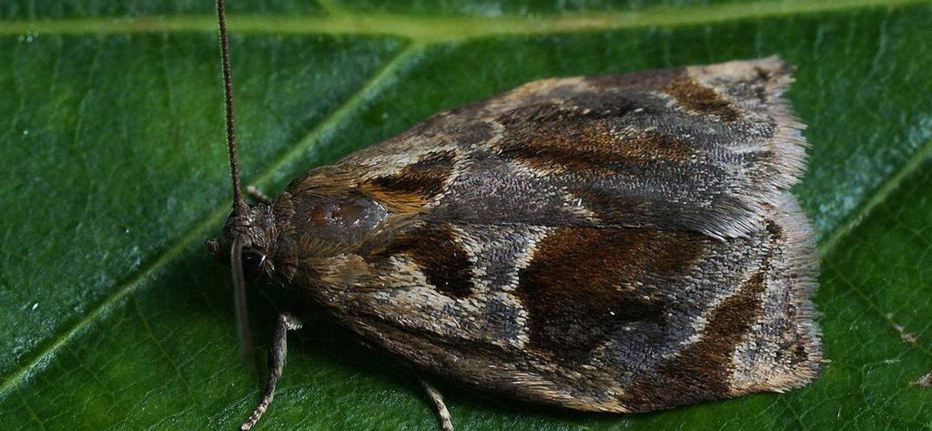 Боярышниковая листовертка-толстушка - Archips crataegana Hbn.