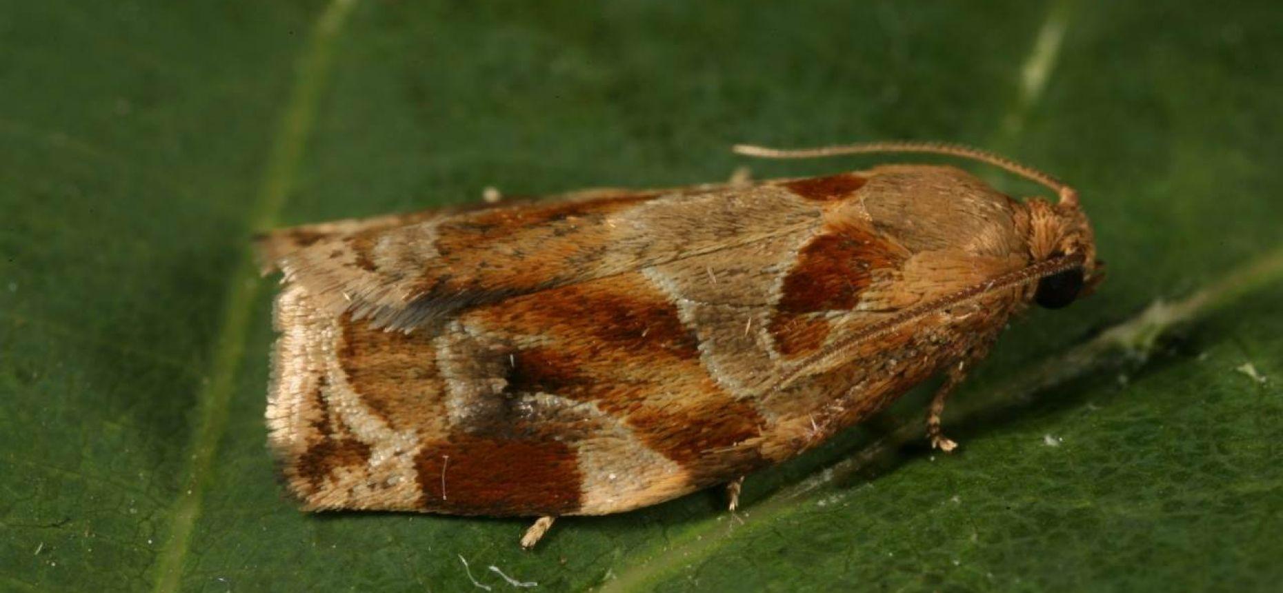 Пестро-золотистая листовертка-толстушка - Archips xylosteanaL.