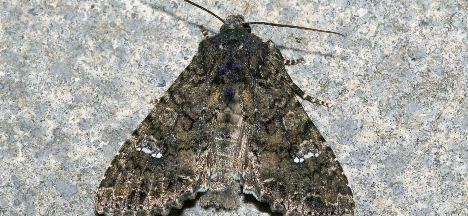 Капустная совка - Barathra brassicae L.