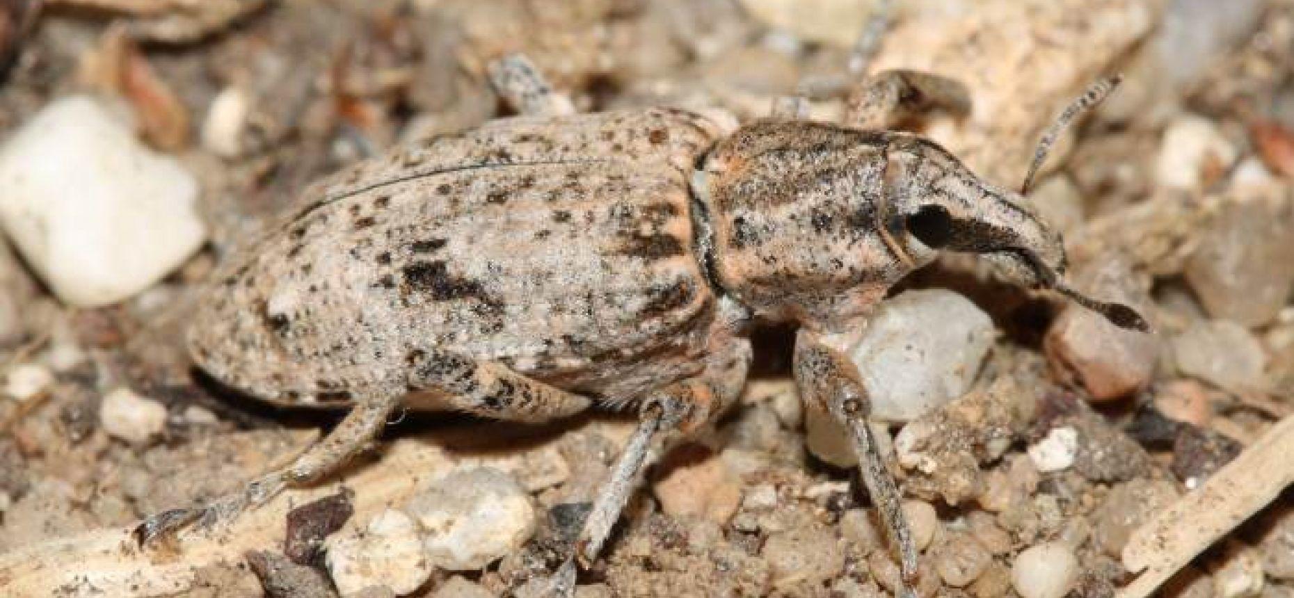 Обыкновенный свекловичный долгоносик - Bothynoderes punctiventris Germar