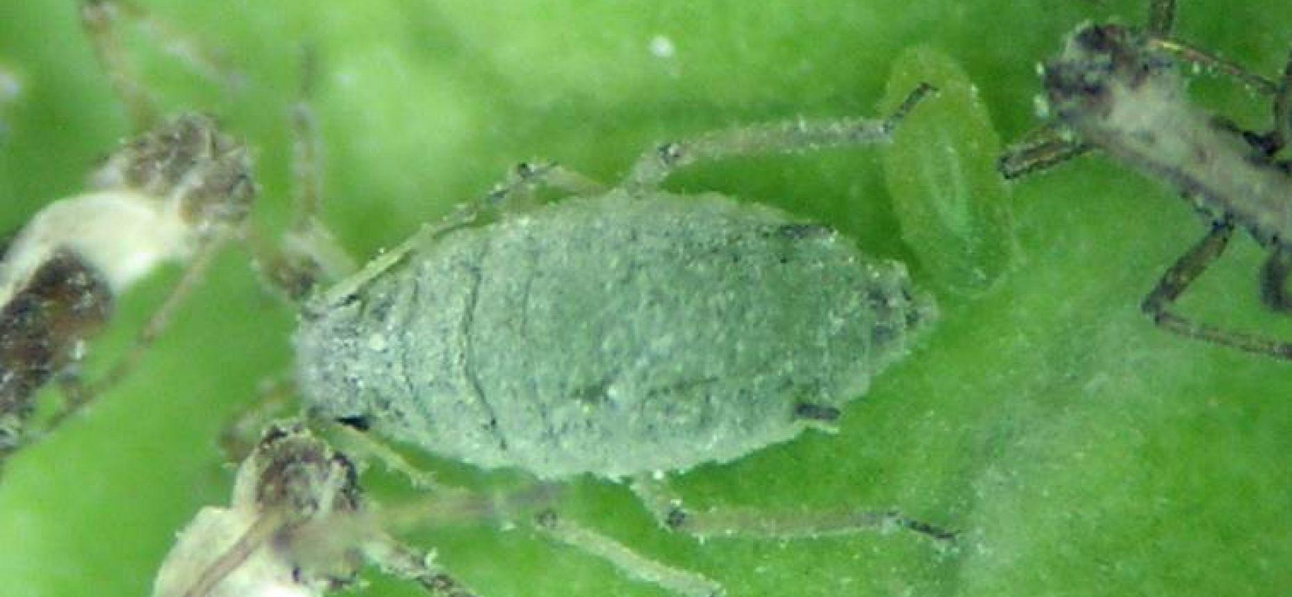 Капустная тля -  Brevicoryne brassicae L.