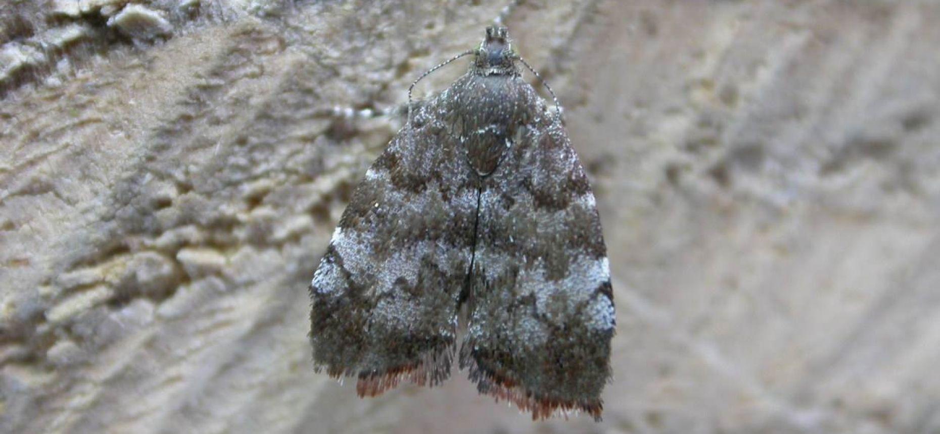 Плодовая моле-листовертка - Choreutis pariana Cl.