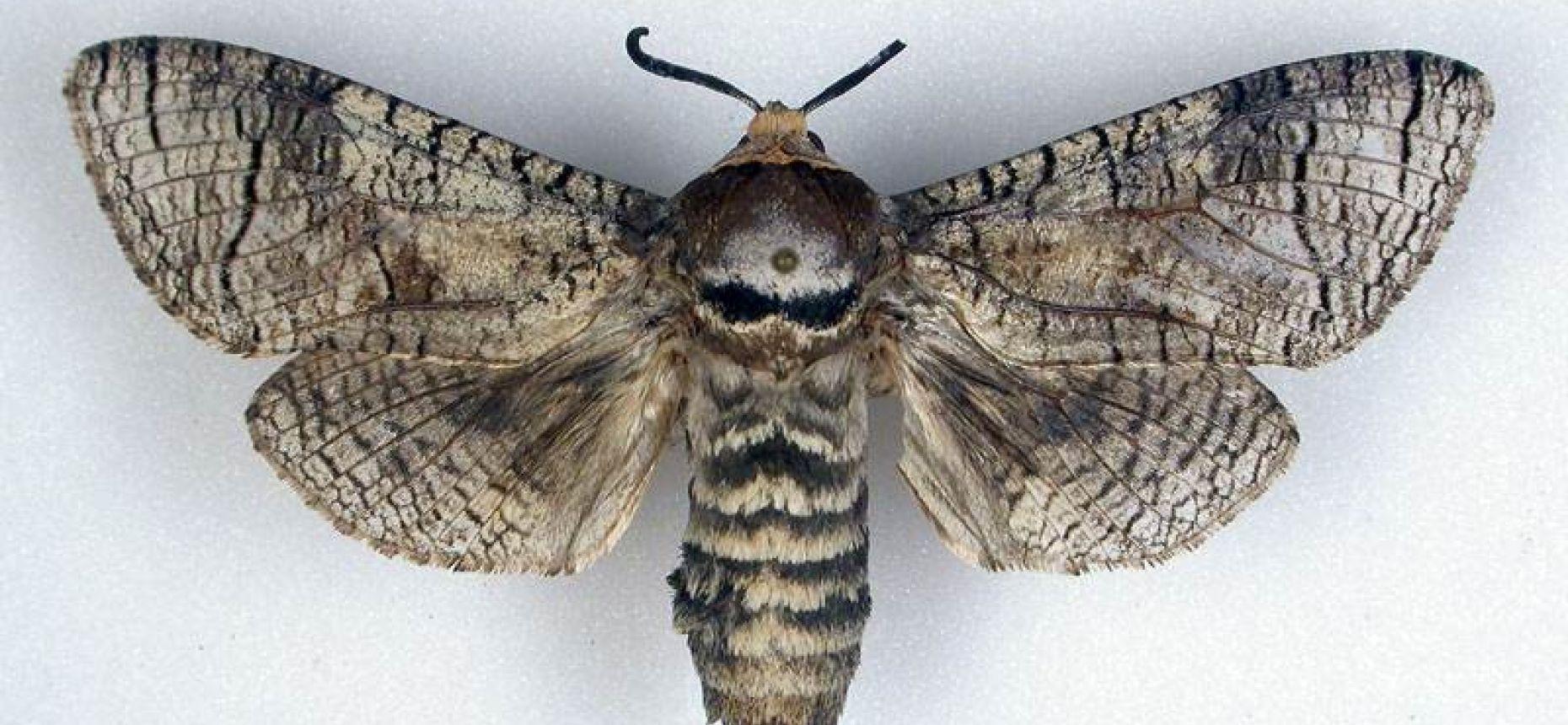 Древоточец пахучий - Cossus cossus L.