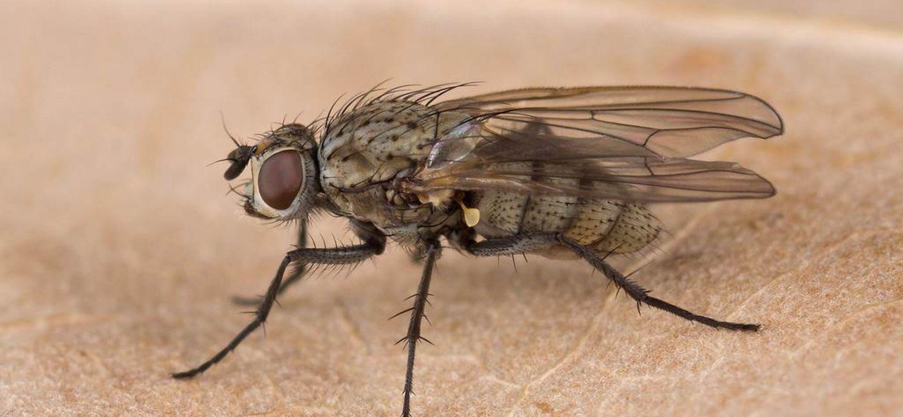 Луковая муха - Delia antiqua (Meigen)
