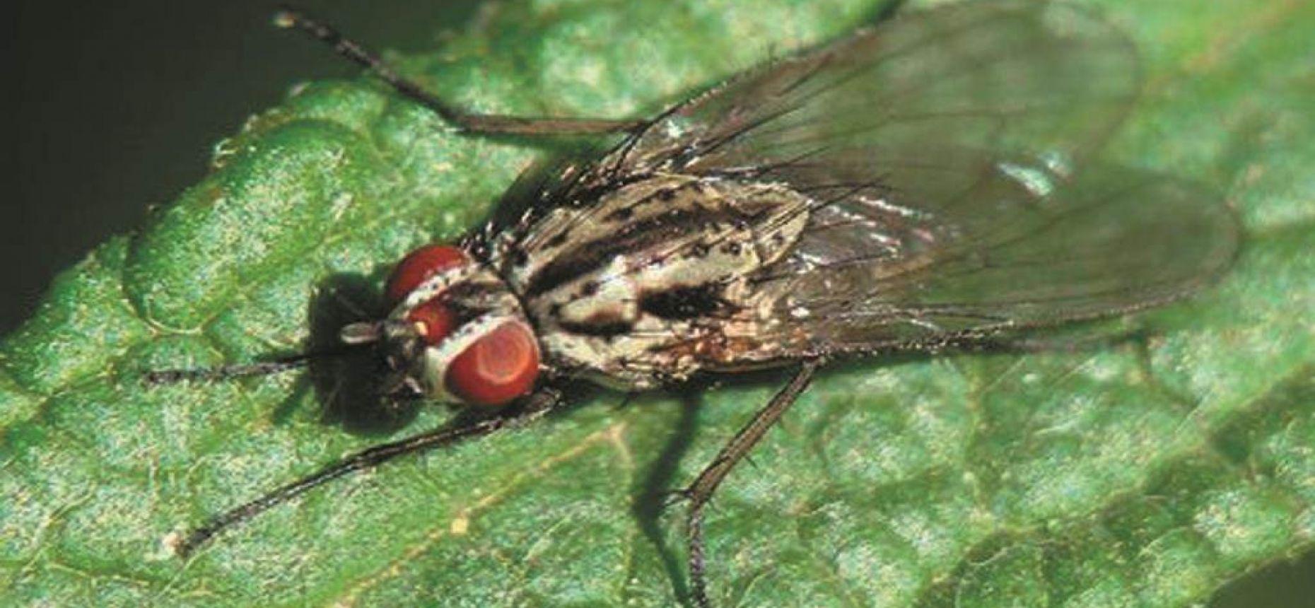 Ростковая муха - Delia platura (Meigen)