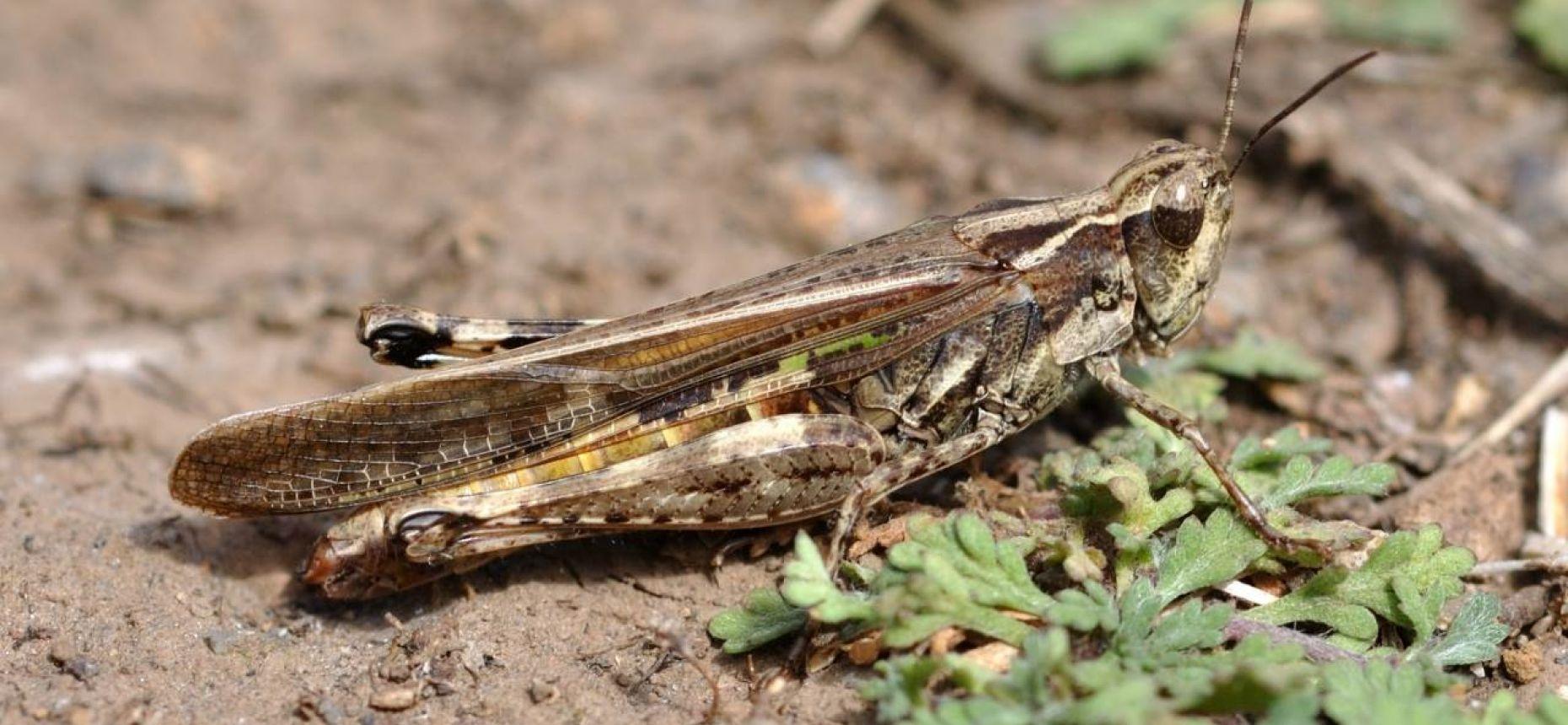 Мароккская саранча - Dociostaurus maroccanus (Thnb.)