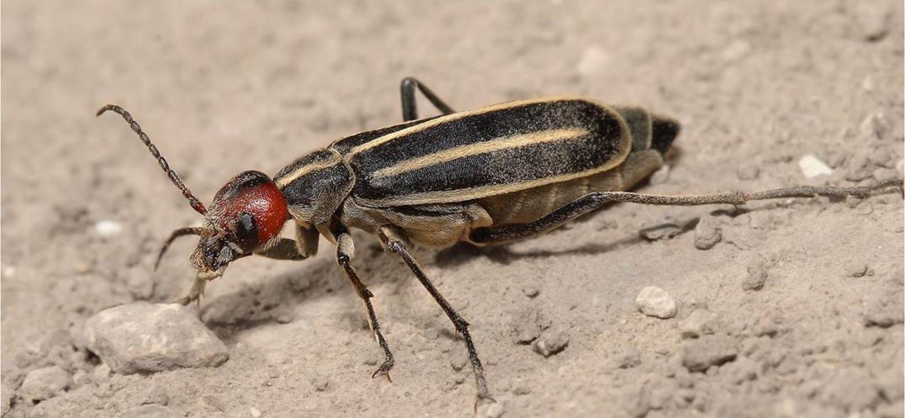 Шпанка красноголовая - Epicauta erythrocephala (Pallas)