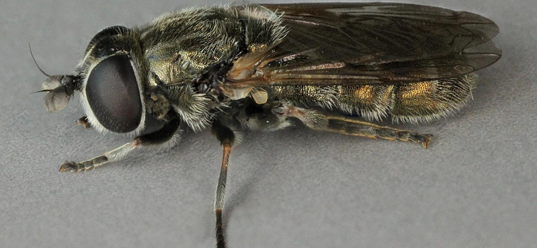 Луковая журчалка - Eumerus strigatus F.