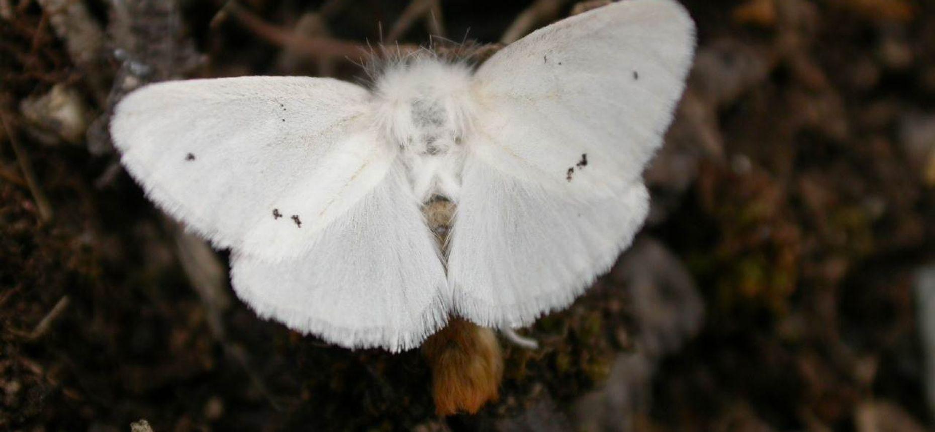 Златогузка - Euproctis chrysorrhoea L.