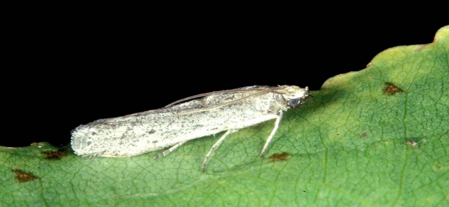 Подсолнечниковая огневка - Homoeosoma nebulellum Den. et Schiff.