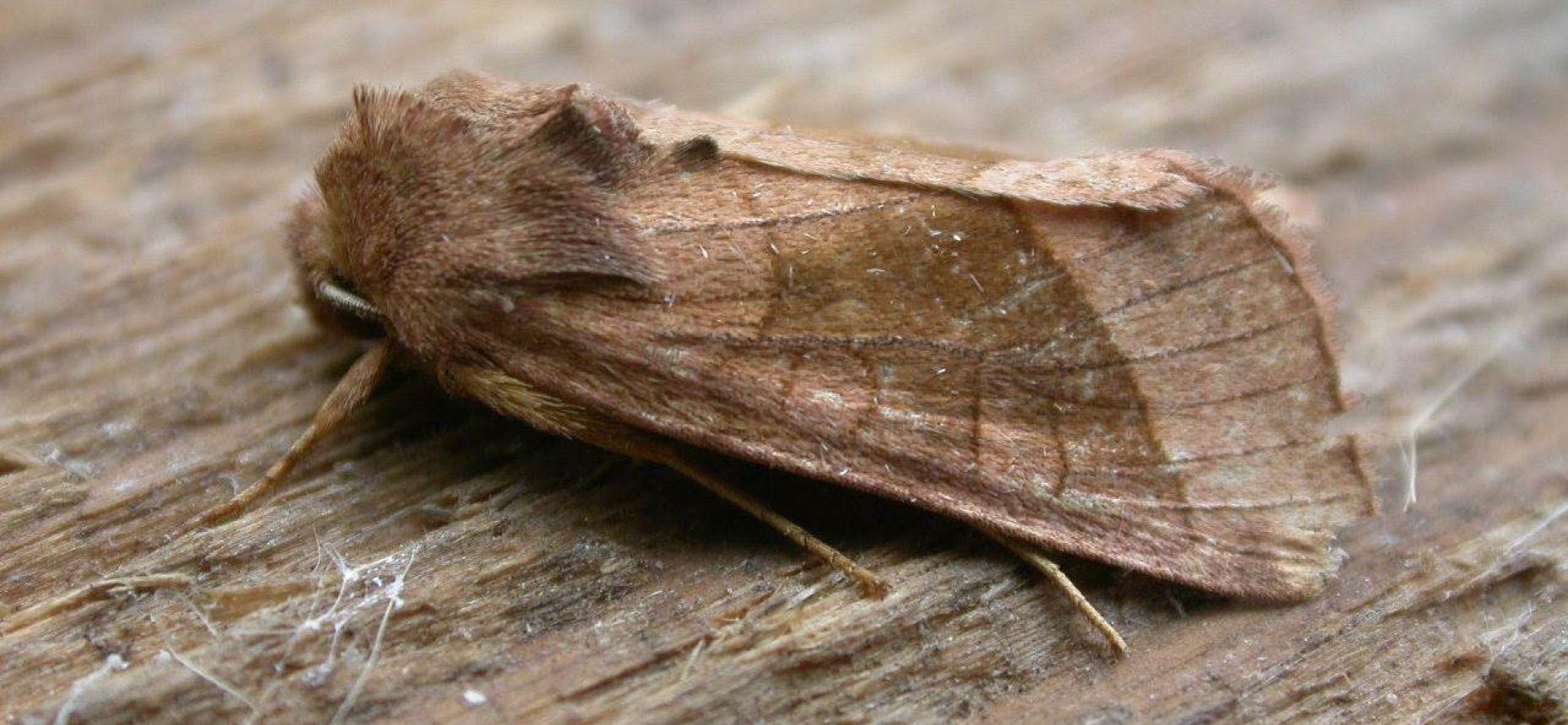 Совка картофельная - Hydraecia micacea (Esper)