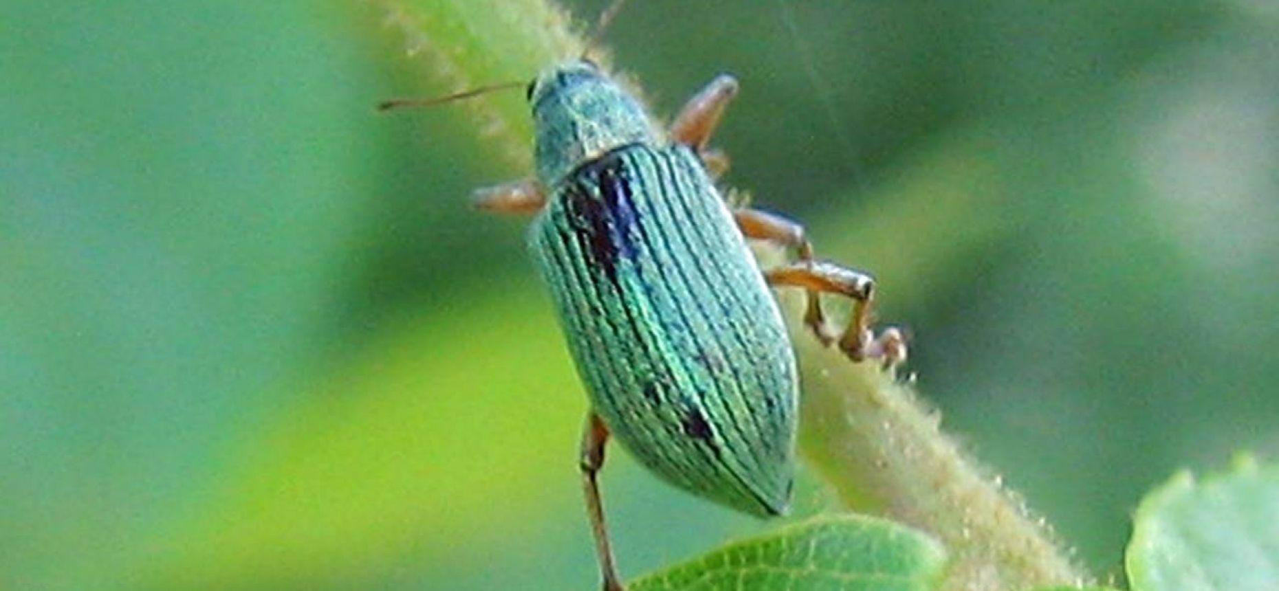 Малый клеверный листовой слоник - Hypera nigrirostris F.