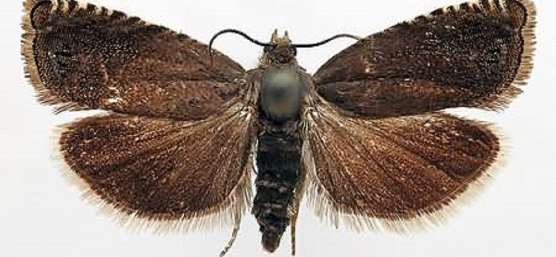 Соевая плодожорка - Laspeyresia glycinivorella Mats.