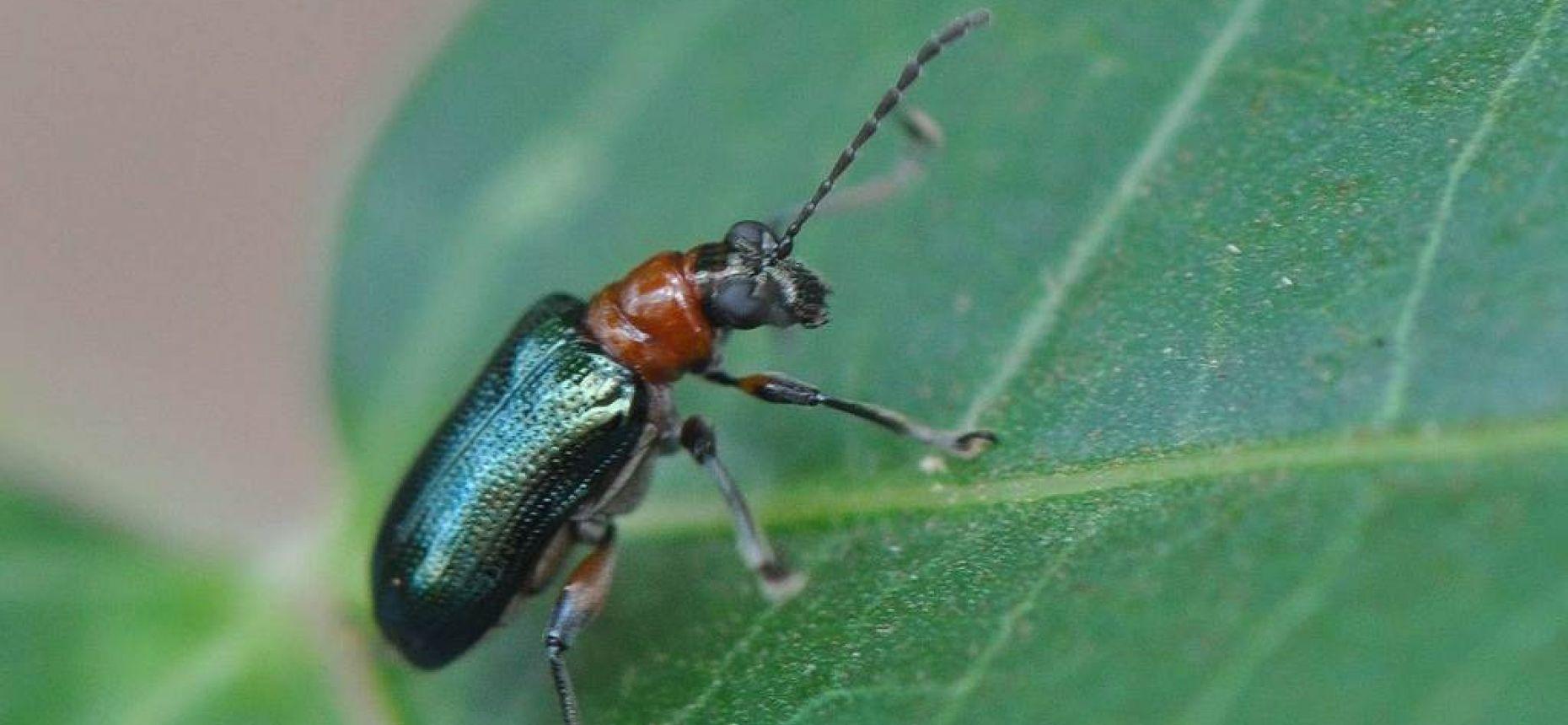 Красногрудая пьявица - Lema melanopusL.